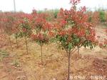 红叶石楠 ,红叶石楠树,红叶石楠球,红罗宾,火焰