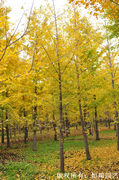 银杏,银杏树,银杏价格 ,恒瑞园艺